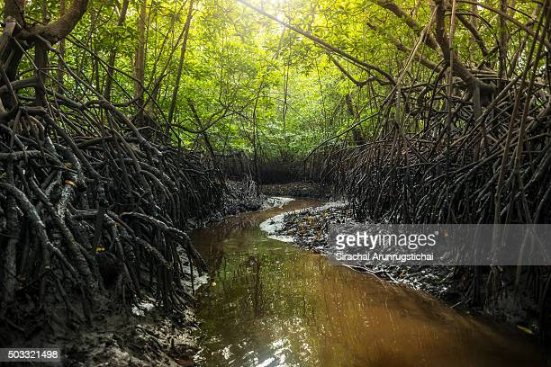 Mangrove forest with a running stream at low tide