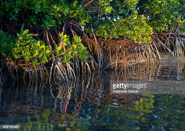 Mangrove Roots at Low Tide