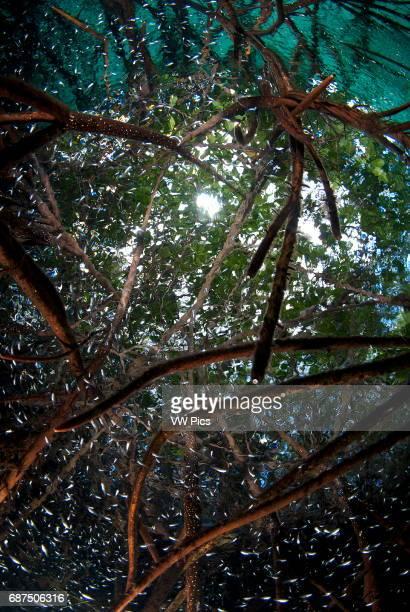 mangrove roots in Casa cenote near Tulum Riviera maya Mexico