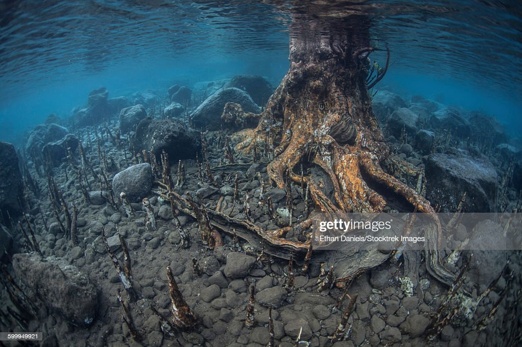 Mangrove Roots Rise From The Seafloor Of An Island In Indonesia Stock Photo    Getty Images