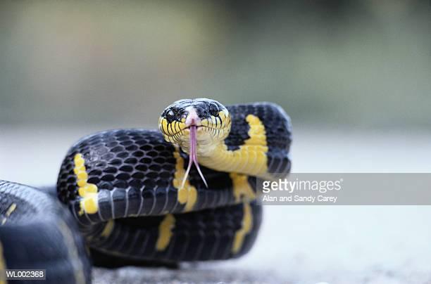 Mangrove snake (Boiga dendrophila), close-up