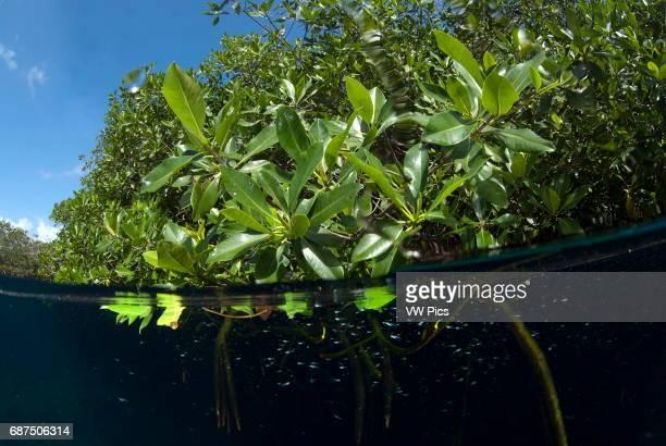 mangrove split image in Casa cenote near Tulum Riviera maya Mexico