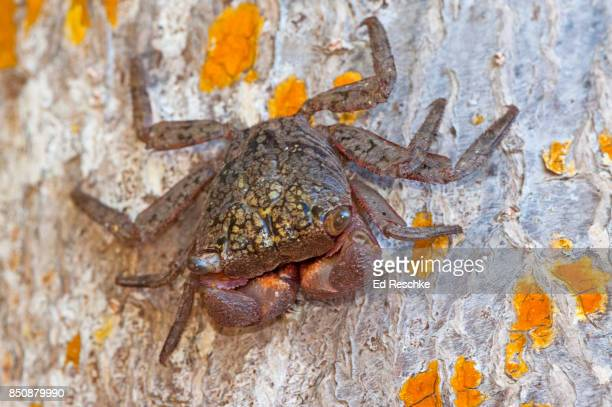 Mangrove Tree Crab (Aratus pisonii) on a Red Mangrove tree trunk