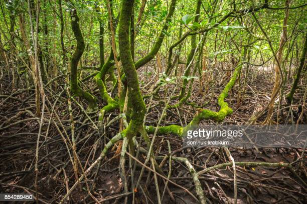 Mangrove tree in forest