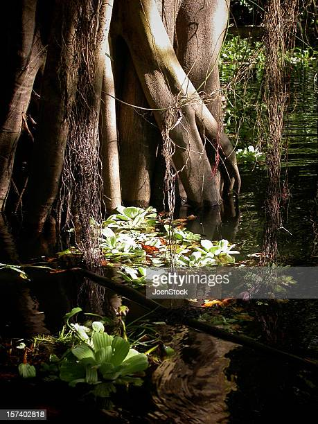 Mangrove tree in the Amazon