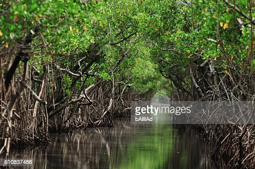 Mangrove trees along the turquoise green water in the stream : Stock Photo