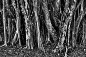 Dense group of mangrove trees.