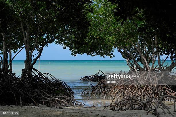 Vue sur la Mangrove à Spanish Lookout Caye Belize