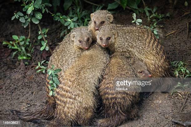 Mangusto Banded mongoose