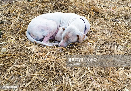 Mangy dog sleeping on the dry straw : Stock Photo