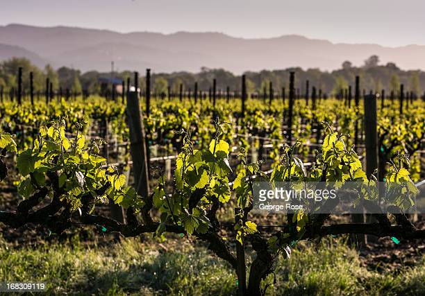 A manicured Carneros chardonnay vineyard is viewed at sunrise on April 12 near Sonoma California Warm temperatures and a dry spring have accelerated...