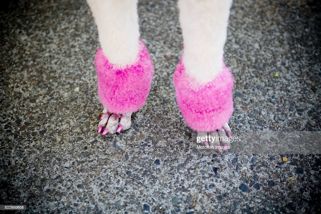 Manicured Poodle Paws