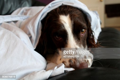 Manny under blanket : Stockfoto