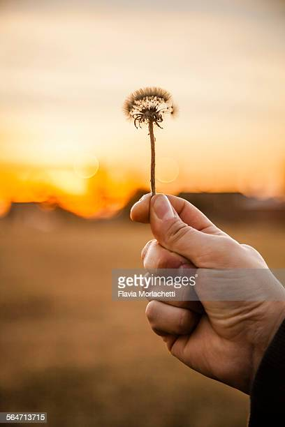 Man's hand holding dandelion at sunset