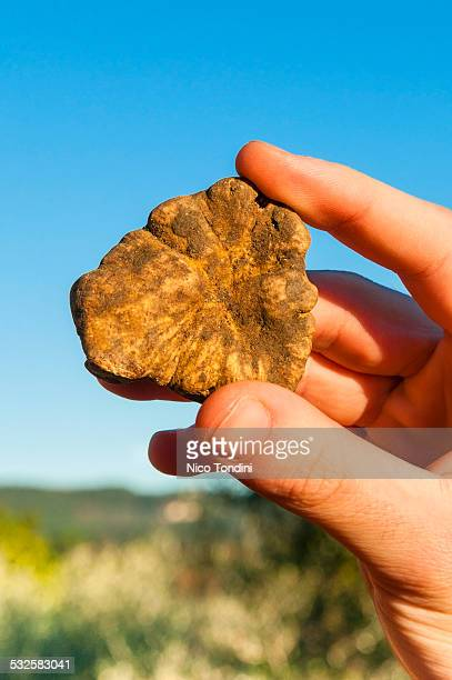 A man's hand holding white truffle