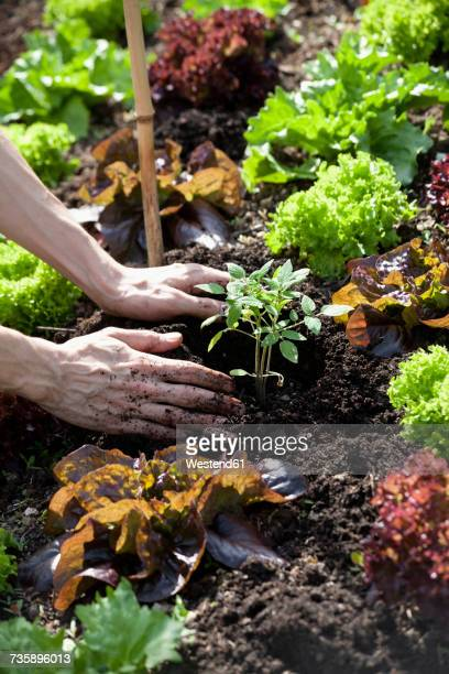 Mans hand planting tomato plant in a bed