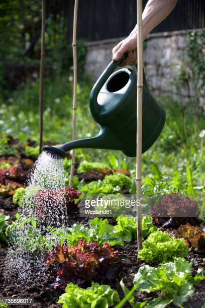 Mans hand watering heads of lettuce in garden