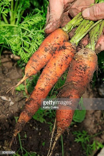 Man's hands holding freshly dug carrots