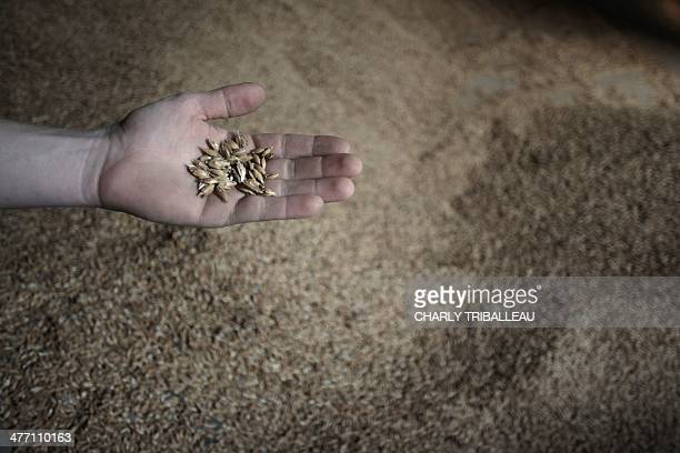 A mans holds up spelt seeds in Montmerrei northwestern France on March 6 2014 AFP PHOTO / CHARLY TRIBALLEAU