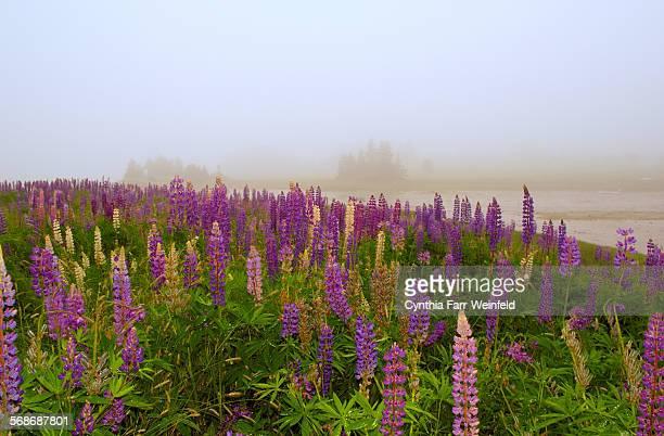 Manset lupines in fog