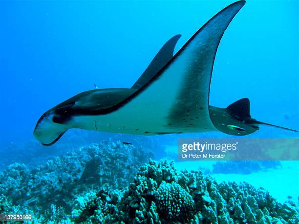 Manta Ray and Cleaner Wrasse