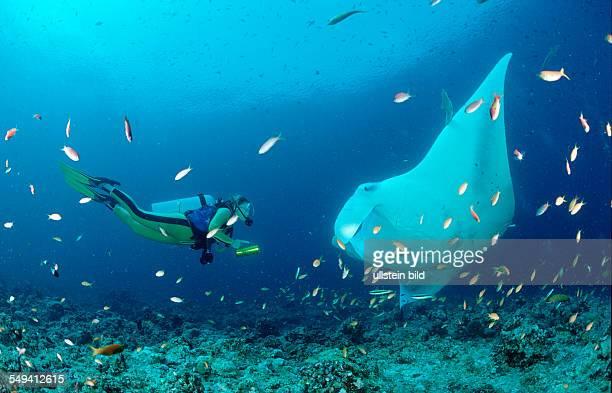 Manta ray and scuba diver Manta birostris Maldives Island Indian Ocean Ari Atol
