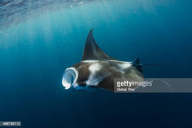 Manta Ray in German Channel - Palau, Micronesia