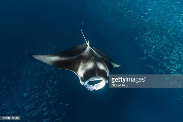 Manta Ray in German Channel - Palau, Micronesia