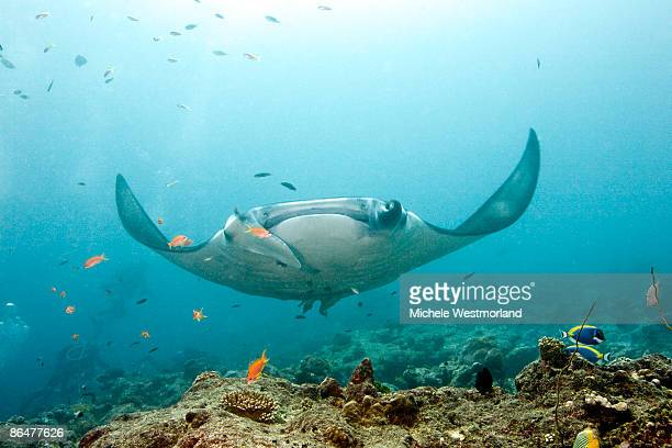 Manta Ray, Maldives