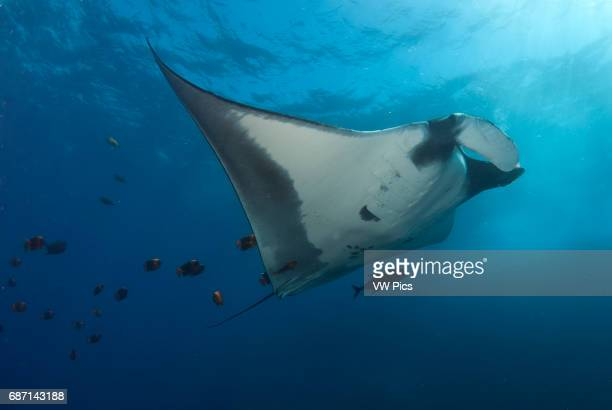 Manta Ray Manta birostris and clarion angelfish on a cleanning estacion Socorro Island Revillagigedo archipelago Pacific ocean Mexico
