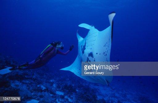 manta ray, manta birostris, with diver, rangiroa, tuamotu, polynesia