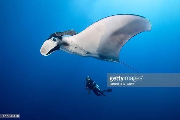 Manta Ray & Scuba Diver - Revillagigedo Islands, M