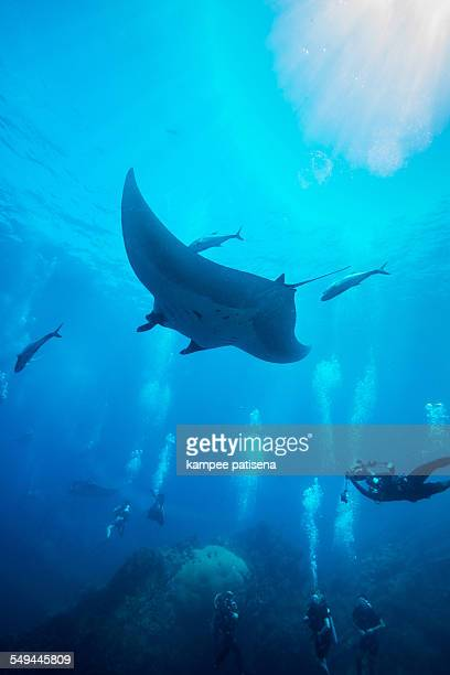 Manta Ray swimming in blue water