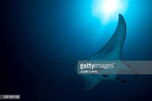 Manta Ray swimming in the Maldives.  : Stock Photo