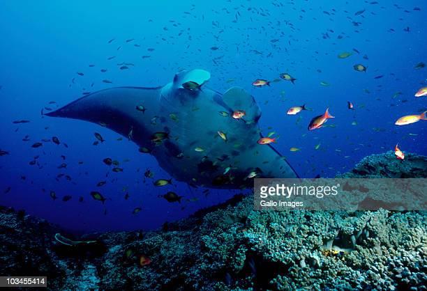 Manta Ray (Manta birostris) swimming with a school of fish, Mozambique