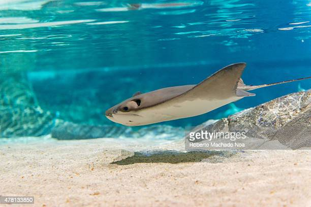 S AQUARIUM TORONTO ONTARIO CANADA Manta rays are large eagle rays belonging to the genus Manta They are classified among the Elasmobranchii and are...
