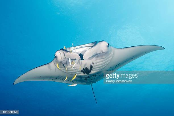 Manta-ray with yellow fishes