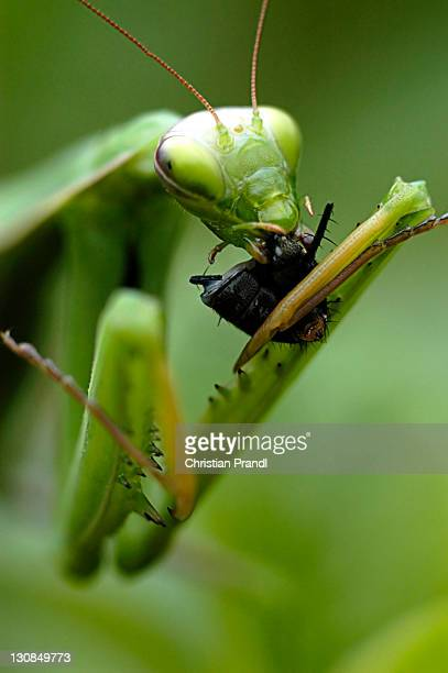 A Manticore is eating a Fly (mantis religiosa)