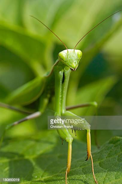 A Manticore (mantis religiosa)