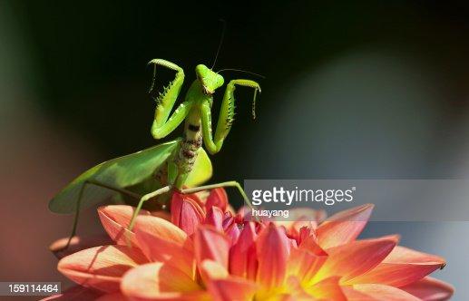 Mantis dancing on dahlia : Stock Photo