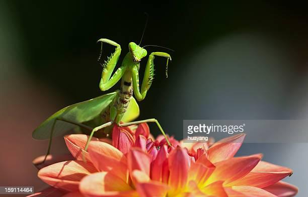 Mantis dancing on dahlia