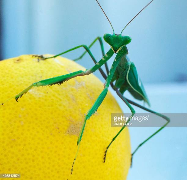 A Mantis Religiosa most commonly known as a Praying Mantis is pictured on a grapefruit in the Israeli Mediterranean coastal city of Netanya on...