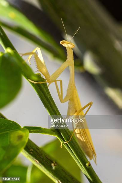 A Mantis Religiosa most commonly known as a Praying Mantis is pictured on an orange tree in the Israeli Mediterranean coastal city of Netanya on...