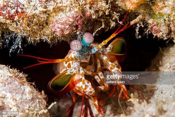 how to cook mantis shrimp