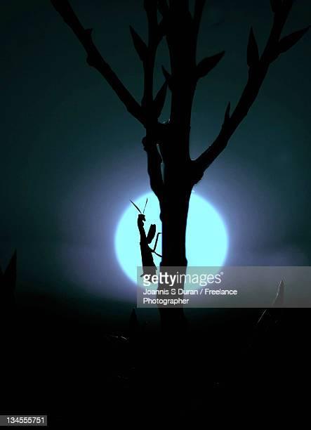 Mantis under Moonlight