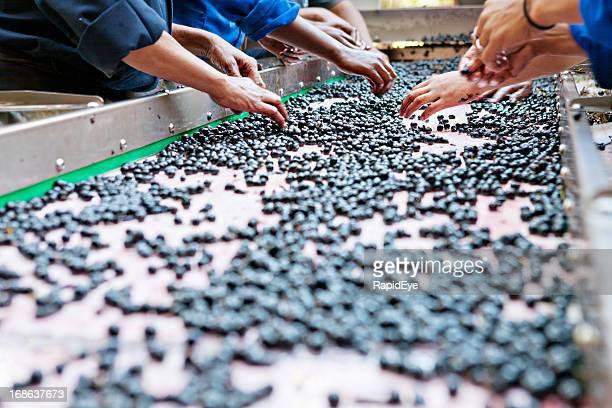 Manual laborers hand sorting grapes at winery