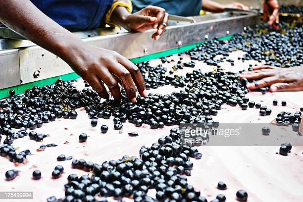 Trabalhadores manuais Ordenar uvas no Estabelecimento Vinícola Correia Transportadora