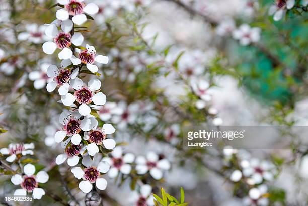 Manuka (Leptospermum scoparium) Tea Tree