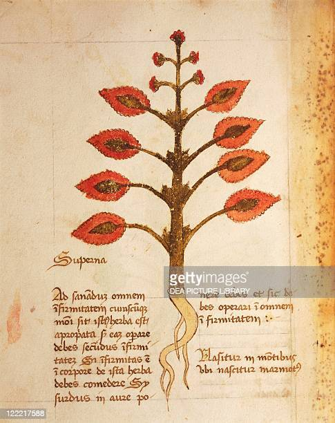 Manuscript Italy 15th century Herbal from Trento Plate Herba superna Painkiller herb for every part of the body It grows on the mountains where the...