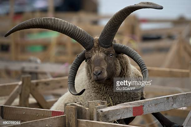 A Manx Loaghtan sheep looks out from its pen at the annual Masham Sheep Fair in Masham northern England on September 27 2015 The Sheep Fair which is...